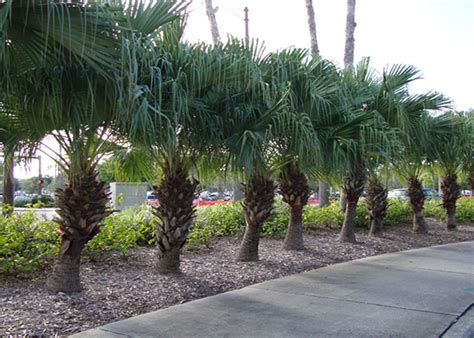 Garden Center Fort Myers Palm Tree Nursery Fort Myers