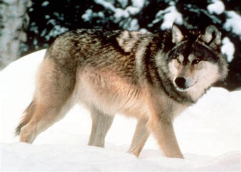 what color are wolves black vs gray what does wolf fur color to do with