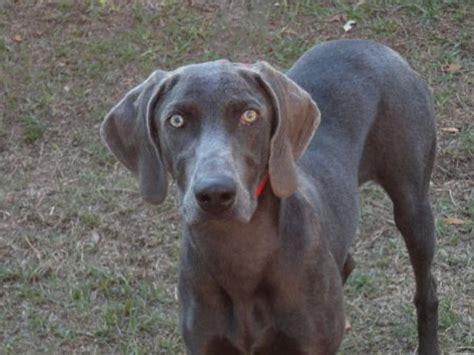 weimaraner puppies rescue adopt purebred weimaraner lifeline rescue