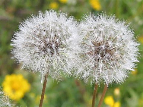 imagenes flores silvestres sus nombres guadalupe flores silvestres