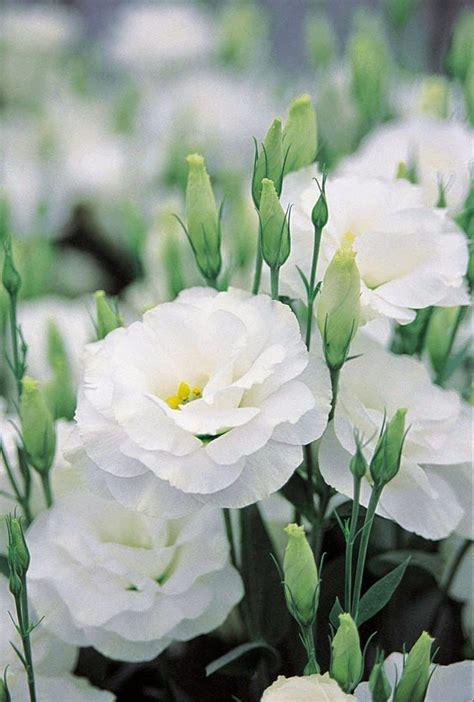 All Stuff Flowers Shrubs Evergreens Garden Pikmin 2 White Flower Garden