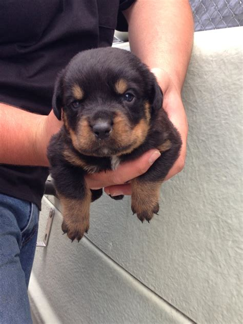 17 week rottweiler picture of our newest addition taken at 3 weeks x post r rottweiler aww