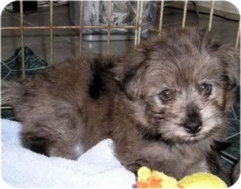 yorkie aussie mix yorkie and australian shepherd mix puppies pict breeds picture