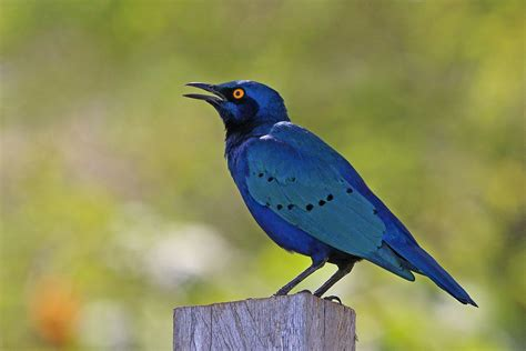 blue is about greater blue eared starling