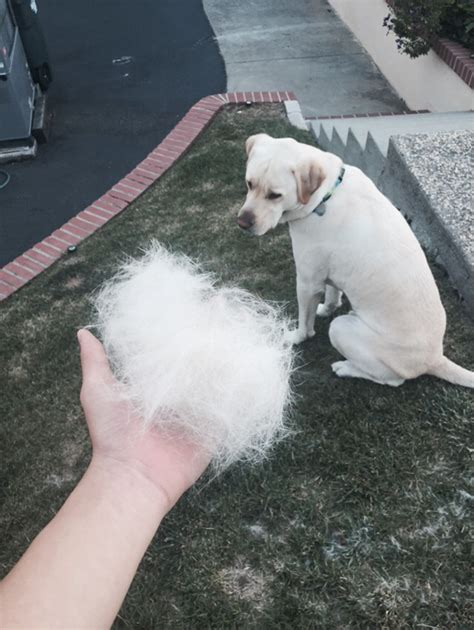 Puppy Shedding Fur by 15 Pics That Perfectly Sum Up A Pet Bored Panda