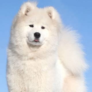 my female semoyed dog is not eating oooo and she is pregnant pets nigeria beautiful samoyed apparently ppl say samoyeds as the