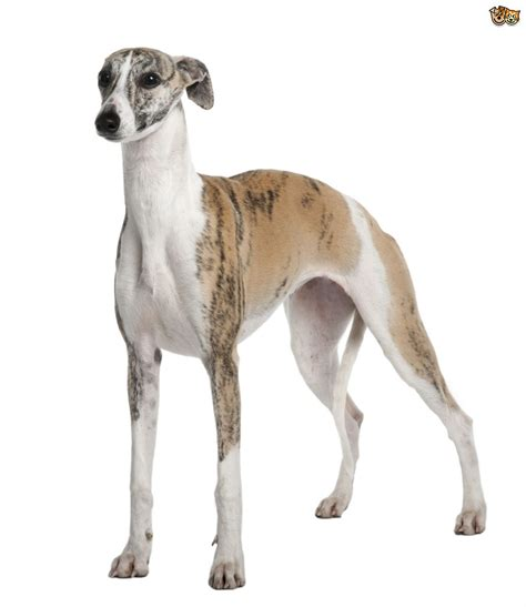 www dogs 3 breeds often confused with similar looking breeds pets4homes