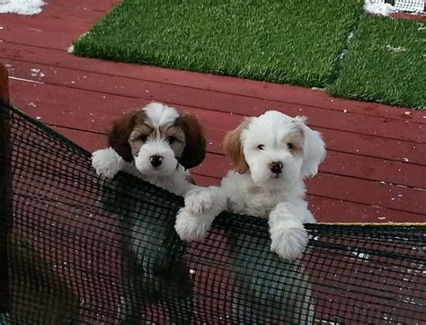 puppies for sale minneapolis best 25 tibetan terrier ideas only on tibetan tibetan breeds and
