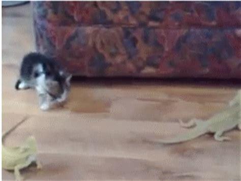 imagenes gif naturaleza gif 161 vaya susto se pega este gatito por culpa del lagarto