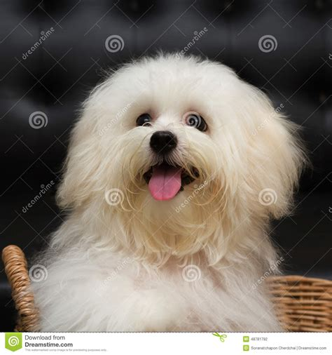 shih tzu age shih tzu puppy breed tiny age 6 month playfulness loveli stock photo image
