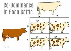 Codominance cow what is difference between codominance and incomplete