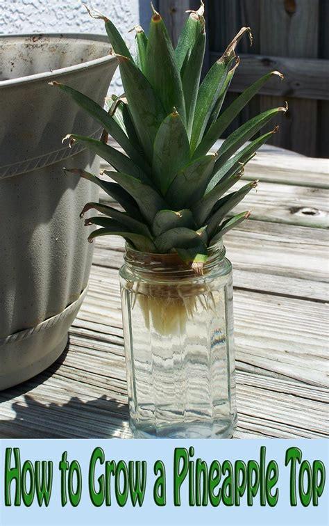 Pineapple Top how to grow a pineapple top corner