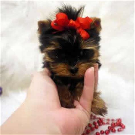 small dogs yorkie why teacup yorkie dogs are small elvis terrier