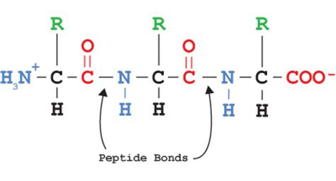 diagram of peptide bond the world s catalog of ideas