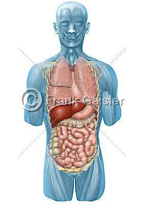 die inneren organe des menschen medidesign frank geisler bild anatomie mensch innere