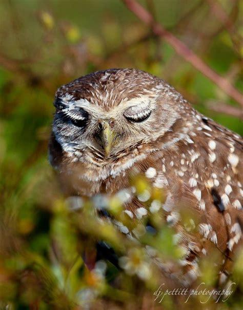 burrowing owl florida photography pinterest