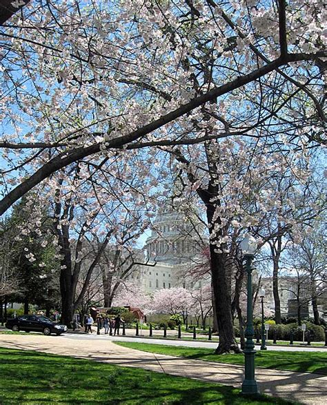 cherry trees at us capitol 2009