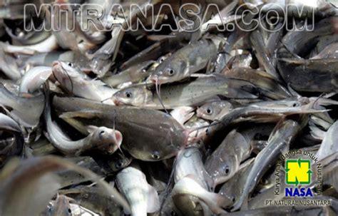 Ton Nasa Untuk Lele cara mengatasi kematian ikan lele disaat musim penghujan