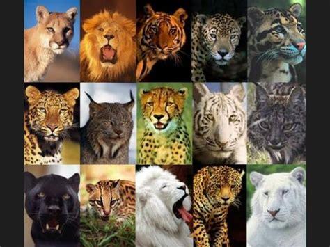 imagenes impactantes de felinos ranking de felinos del mundo listas en 20minutos es