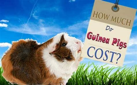how much do guinea pigs cost pethelpful