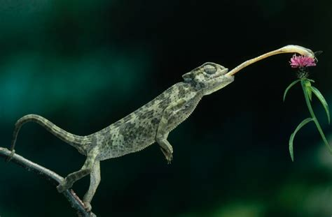 alimentazione camaleonte camaleonti descrizione caratteristiche alimentazione e