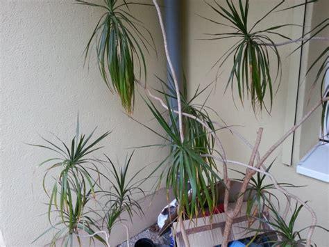 palme wohnzimmer palmen f 252 rs wohnzimmer brocoli co