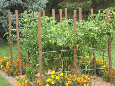 backyard tomatoes tomato trellis idea gardening pinterest