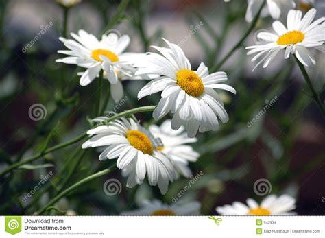 imagenes margaritas blancas margaritas blancas imagenes de archivo imagen 942934