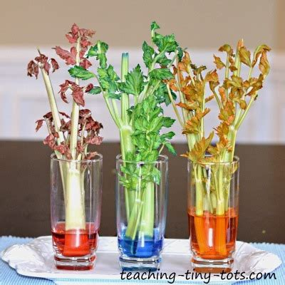 celery experiment learn how plants absorb water in this kids science project