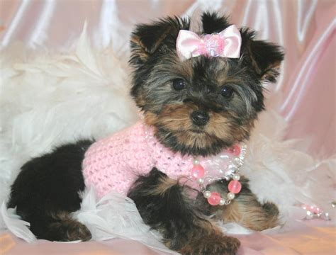 yorkie puppies in yorkie breeders direct yorkie breeders direct in vaiden ms 39176