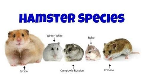 how many eye colors are there how many types of hamsters are there in the world hamster