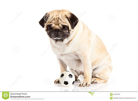 pug player isolated on white background soccer football stock photo image 64223487