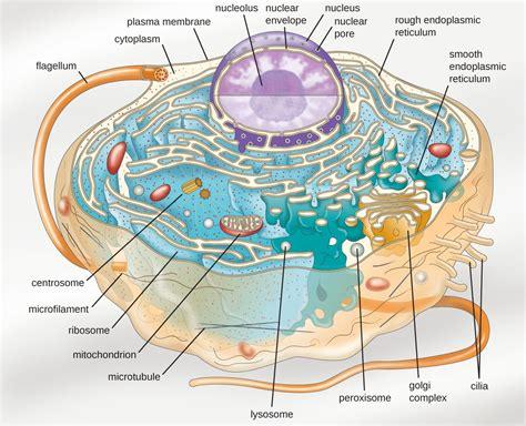 diagram of an eukaryotic cell unique characteristics of eukaryotic cells microbiology