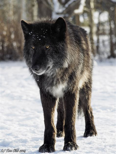 Black Wolf Dog Visited A Wolf Dog Sanctuary This Is Black Wolf American