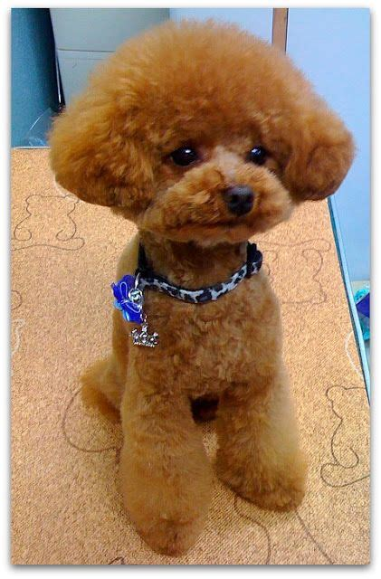 different poodle haircuts 1000 images about oy with the poodles already on