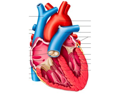 frontal section of the heart frontal section of heart