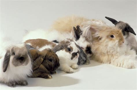can rabbits see color an overview of rabbit fur colors and patterns