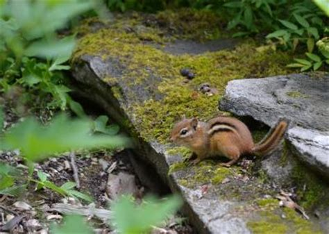 ovenbirds eavesdrop on chipmunks to protect nests e