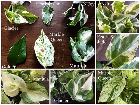 variegated pothos varieties leaves compared side  side
