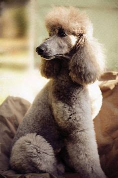 how to do a bob marley poodle cut on a dog poodle cuts toy poodles and poodles on pinterest