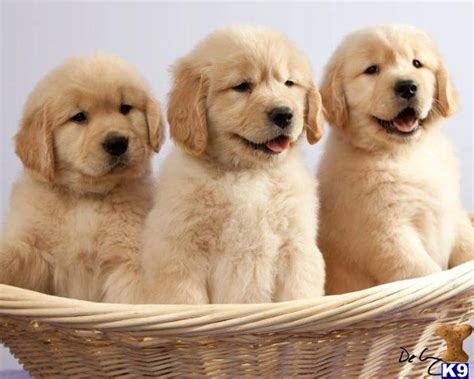 chion golden retriever puppies for sale 25 best ideas about puppy wallpaper on puppies images free puppies and