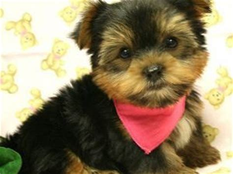 yorkie puppies for sale new york yorkie babies for sale in new york for sale puppies for sale