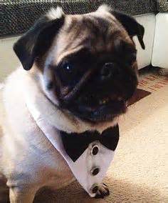 tuxedo for pugs it s a pug world on pug puppies pug and pug puppies