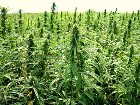 Protege Canapé 3 Places 1236 by Hemp Promoters Say Crop Should Be Legalized Grown In