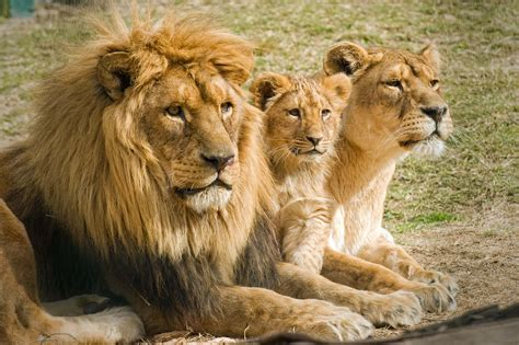imagenes de leones asiaticos leon images hot images category rare