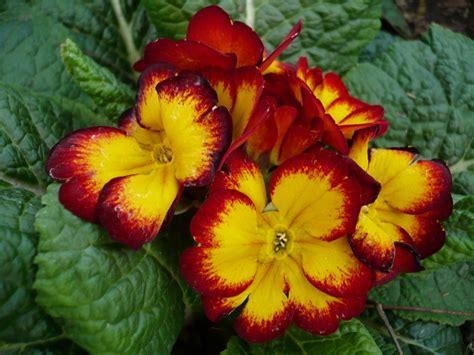imagenes rojas y amarillas file flores amarillas rojas jpg wikimedia commons