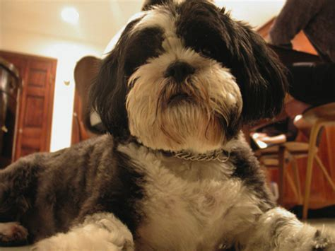 scruffy shih tzu dogs on design debbie millman knows shih tzus core77