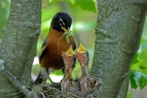 mother robin theory kavips