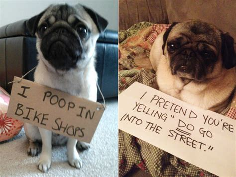 15 pugs of the day 15 pug shaming pictures of pugs who did the crime and now doing the time