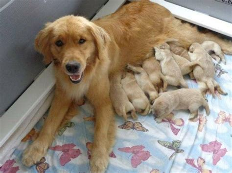 how much is a puppy golden retriever how much is a golden retriever puppy worth dogs in our photo